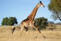 running-giraffe-hd-pictures-free-download-incredible-hd-widescreen-wallpapers-of-giraffe-animal-950x640