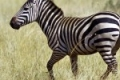 zebra-the-free-beautiful_195010-150x150