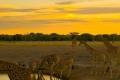Giraffes-Zebras-Sunset-1200x1600-700x350