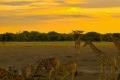 Giraffes-Zebras-Sunset-1200x1600-700x865