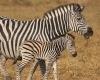 IMG_3615_web_zebra-100x100