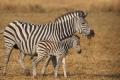 IMG_3615_web_zebra-300x200