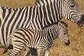 IMG_3615_web_zebra-700x865
