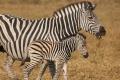 IMG_3615_web_zebra-925x465