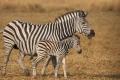 IMG_3615_web_zebra-950x640