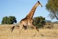running-giraffe-hd-pictures-free-download-incredible-hd-widescreen-wallpapers-of-giraffe-animal-950x640