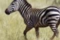 zebra-the-free-beautiful_195010-150x150