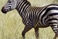 zebra-the-free-beautiful_195010-700x800