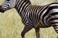 zebra-the-free-beautiful_195010-950x316